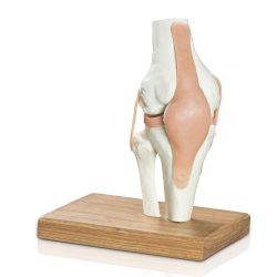 Anatomical model of the Knee