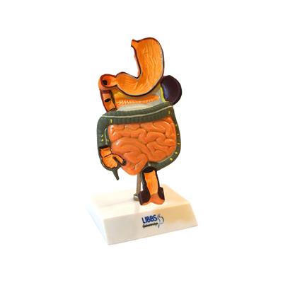 Modelo Anatômico do Sistema Digestivo