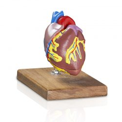Coração Tamanho Natural- Modelo Anatômico
